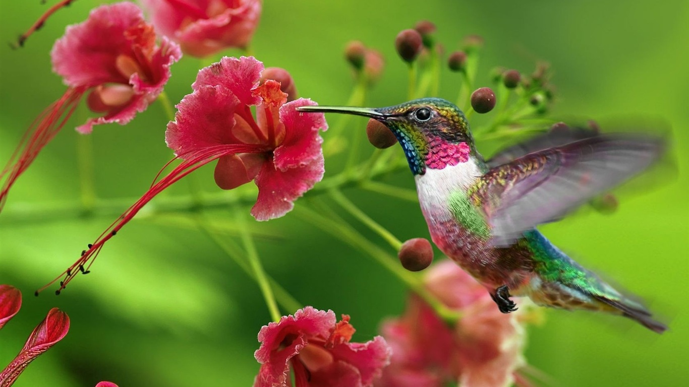 hummingbird-wallpapers-6